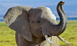 An elephant walks in the Amboseli National Park in southern Kenya, 08 October 2013