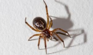 False widow spider, West Sussex, UK.