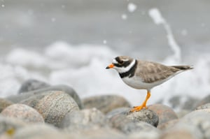 Ringed plover (Charadrius hiaticula) on a pebble beach. Isle of Barra, Scotland, July .