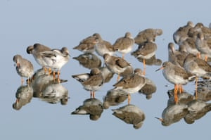 Redshanks (Tringa totanus) roosting with reflections in water, The Wash, Norfolk, England, UK