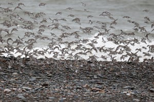 Dunlin, Calidris alpina, group on beach, Cumbria, 2nd March 2014