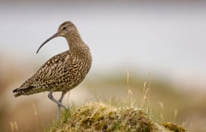CURLEW Numenius arquata Portrait of an adult on a grassy mound. July.  Shetland Islands, Scotland, UK.