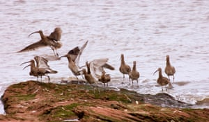 Curlew about to take off from Little Eye Dee Estuary