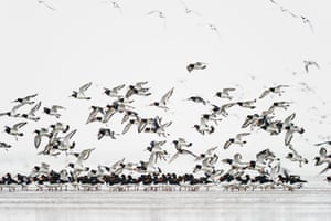 Eurasian Oystercatcher (Haematopus ostralegus) flock, in flight, feeding on mudflats, Snettisham RSPB Reserve, The Wash, Norfolk