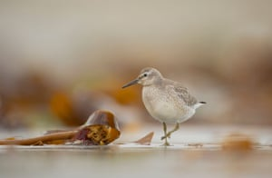 Knot Calidris canutus  An adult foraging among seaweed on a secluded Scottish beach  Shetland Islands, Scotland, UK