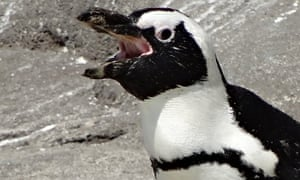 An African penguin vocalising