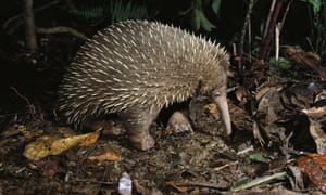 Species named after Sir David Attenborough  Long-beaked Echidna in highland forests of New Guinea, Zaglossus attenboroughi