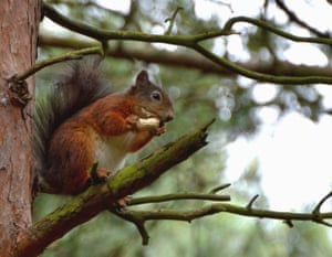 Squirrel on a limb: A red squirrel at Formby Point, Merseyside.