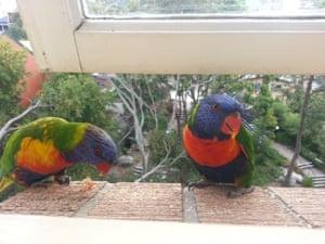 Cheeky rainbow lorikeets!