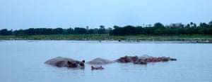 West Africa's life : wild hippos from a dugout canoe