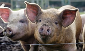 Live Better: two pigs - grow your own pork