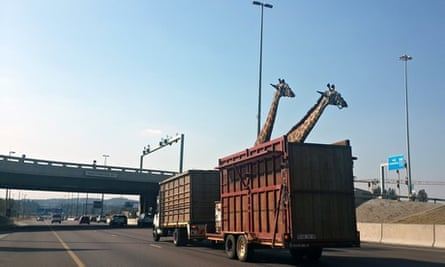 A pair of giraffes being transported in a crate apprach a low bridge in Centurion, South Africa