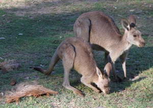 Kangaroo and joey at Carnarvon Gorge visitor area.