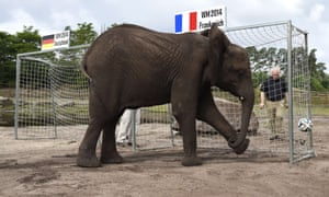 Nelly the Elephant who lives at the Serengeti-Park in Hodenhagen, northern Germany won't have pleased the locals by firing the ball in the French net to pick France as the winners in the quarter-final between France and Germany.