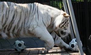 Khan, a three-year-old male Bengali white tiger, plumped for Russia when asked to pick a winner in the Russia v Algeria match. Whilst it was the right thing to do considering he lives at the Royev Ruchey zoo in Russia's Siberian city of Krasnoyarsk, it wasn't the right result as the match finished 1-1.