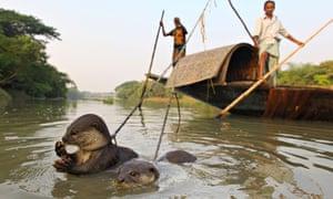 P cheurs sur  barque et leurs Loutres dans l'eau Bangladesh -  -  -