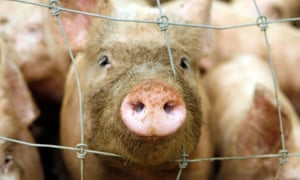 In a herd, one pig pokes his or her muddy snout through a wire fence