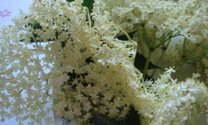 Elderflower heads in full bloom.