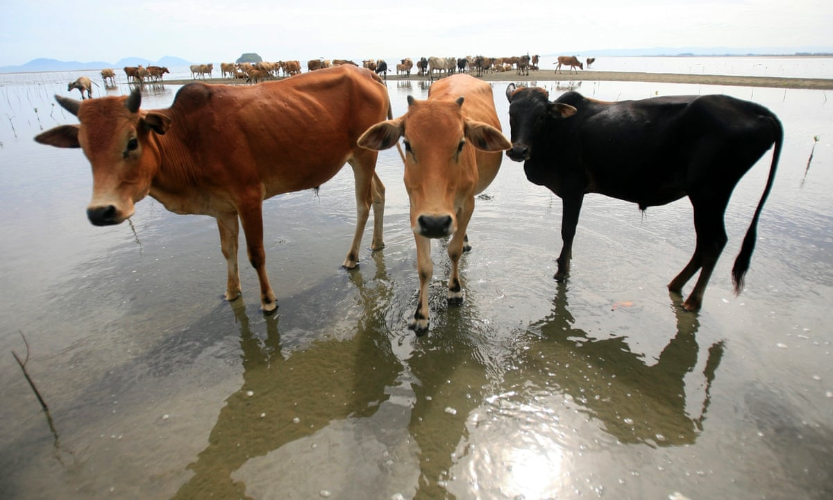 Indonesia Aims To Rely Less On Cattle Imports From