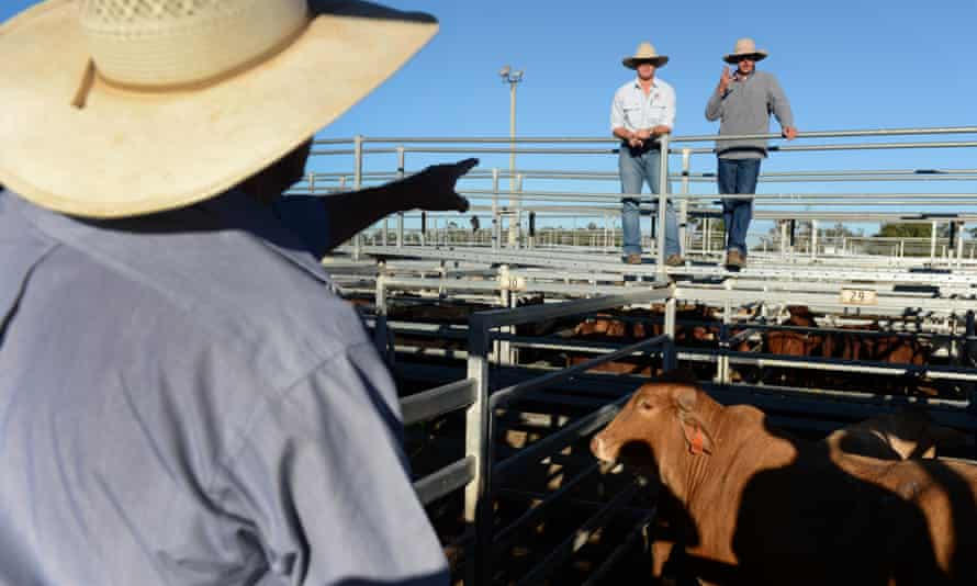 A cattle auction in Dalby, west of Brisbane