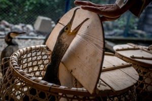 The sea cormorants are placed in baskets to be transported to fishing boats.