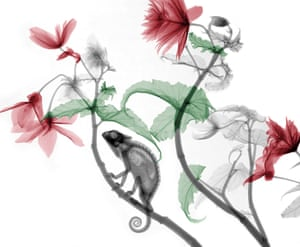 Coloured X-ray of a chameleon on a Begonia plant.  Physicist Arie van't Riet has used X-ray to create an extraordinary collection of artwork.