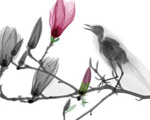 Coloured X-ray of a blackbird (Turdus merula) on the branch of a Magnolia tree. The 66-year-old, from Bathmen in the Netherlands, began X-raying flowers as a means to teach radiographers and physicians how the machine worked.