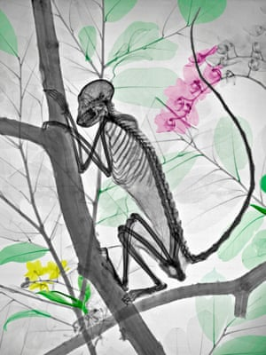 Coloured X-ray of a monkey in a tree.