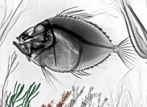 Coloured X-ray of a John Dory fish.