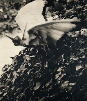 Cercophitecus Icarocornu 2 from the Fauna series by Joan Fontcuberta and Pere Formiguera, 1987.
