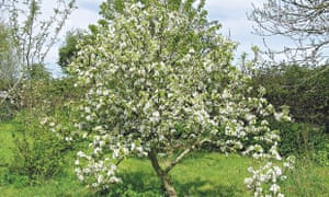 Live Better: Maddy Harland Permaculture Pear Tree