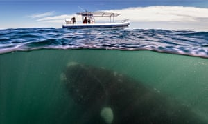 A whale seen under a whalewatching boat in Peninsula Valdez, Argentina.
