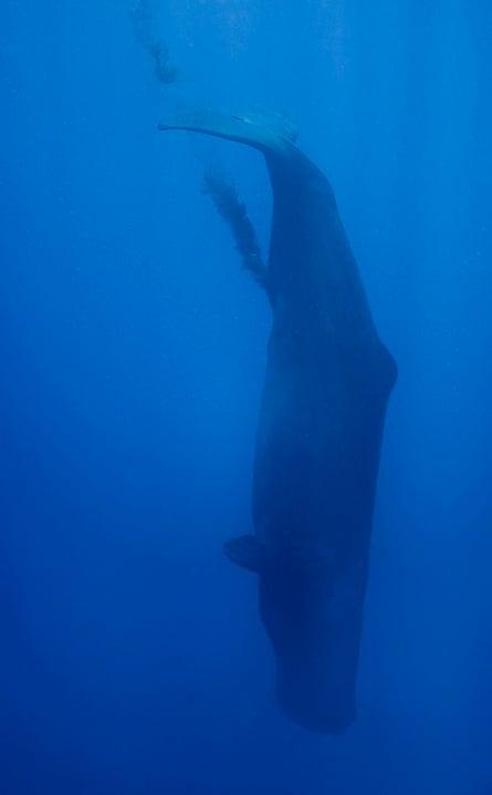 A defecating sperm whale off the coast of Sri Lanka.