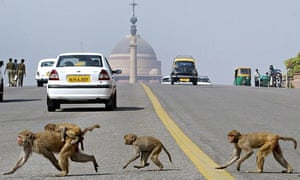 Monkeys cross the road in front of India's Parliament