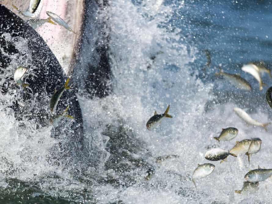 New York whale lunge feeding