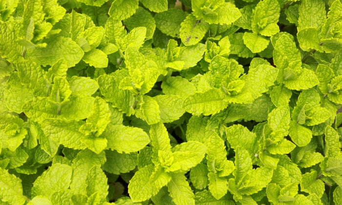 Ten of the best herbs to grow in containers | Life and style
