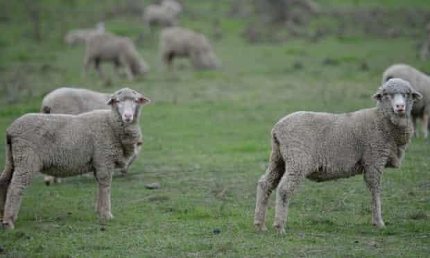 Sheep near Canberra