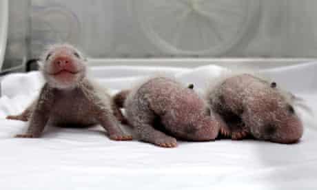 Newborn giant panda triplets in an incubator at the Chimelong Safari Park in Guangzhou