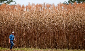 new energy rich sorghum offers ethanol without the corn guardian