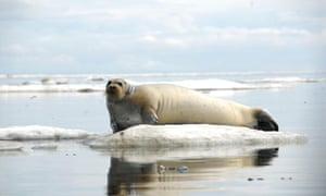 A bearded seal rests on ice off the coast of Alaska.