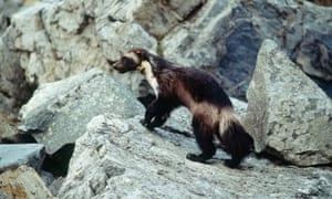 This undated photo provided by Defenders Of Wildlife shows a wolverine that had been tagged for research purposes in Glacier National Park, Montana.
