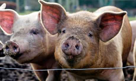 pigs smes