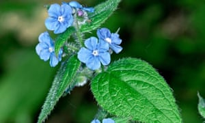 Ask Alys: green alkanet