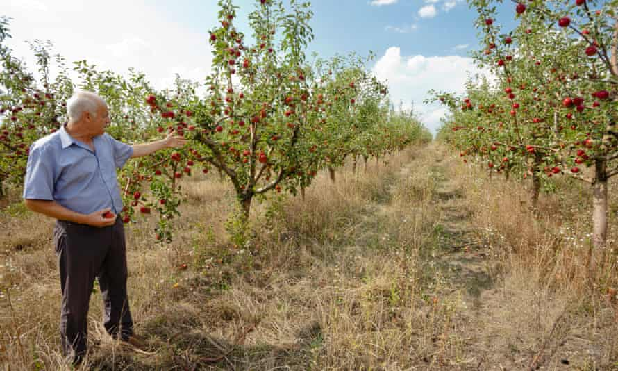 Calmac stands in his apple orchard in Harbovat, Moldova. Like Nitrean, he is also feeling the pinch of  Moscow's bans on Moldovan produce.