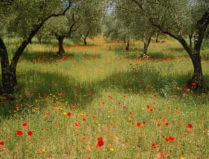 An olive grove in Caceres, Spain.
