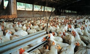 Factory-farmed chickens