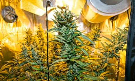Cannabis plants found by Nottinghamshire police.