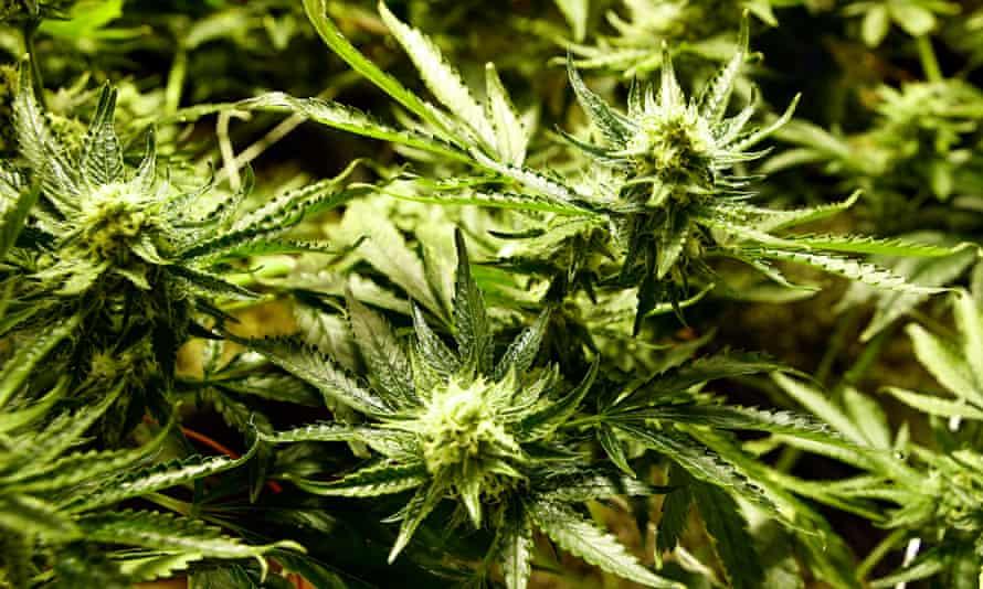 Marijuana growing denver