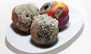 Rotten old nectarines covered with green fungus mould.