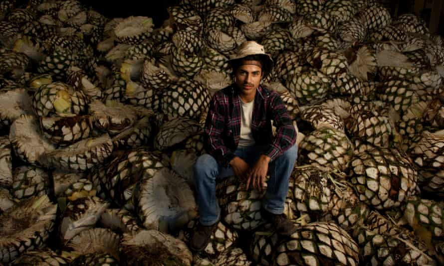 """A farm worker sits on a freshly harvested pile of blue agave pinas (""""pineapples"""")."""